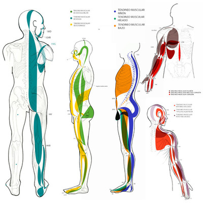 Tendineo-musculares.jpg